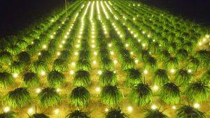 Bóng đèn sợi đốt chiếu sáng trong nông nghiệp